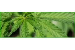 Carencias y Excesos de Cloro (CI) en la Marihuana.